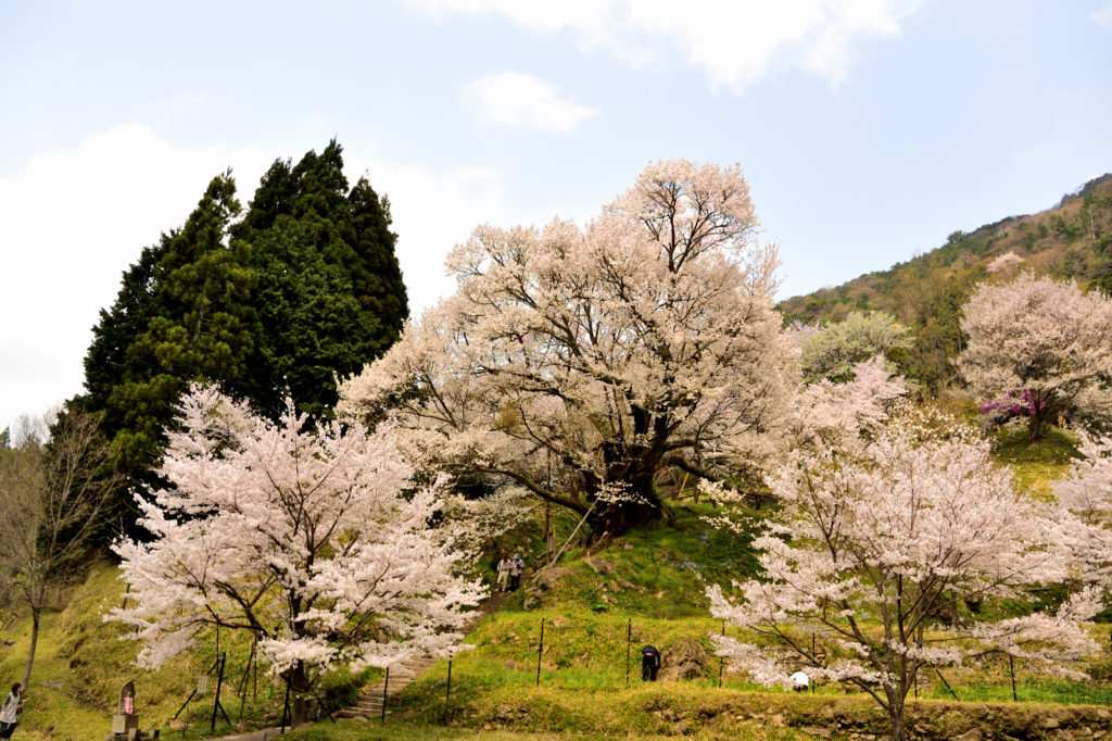 a thouthnad cherry tree and other cherry trees