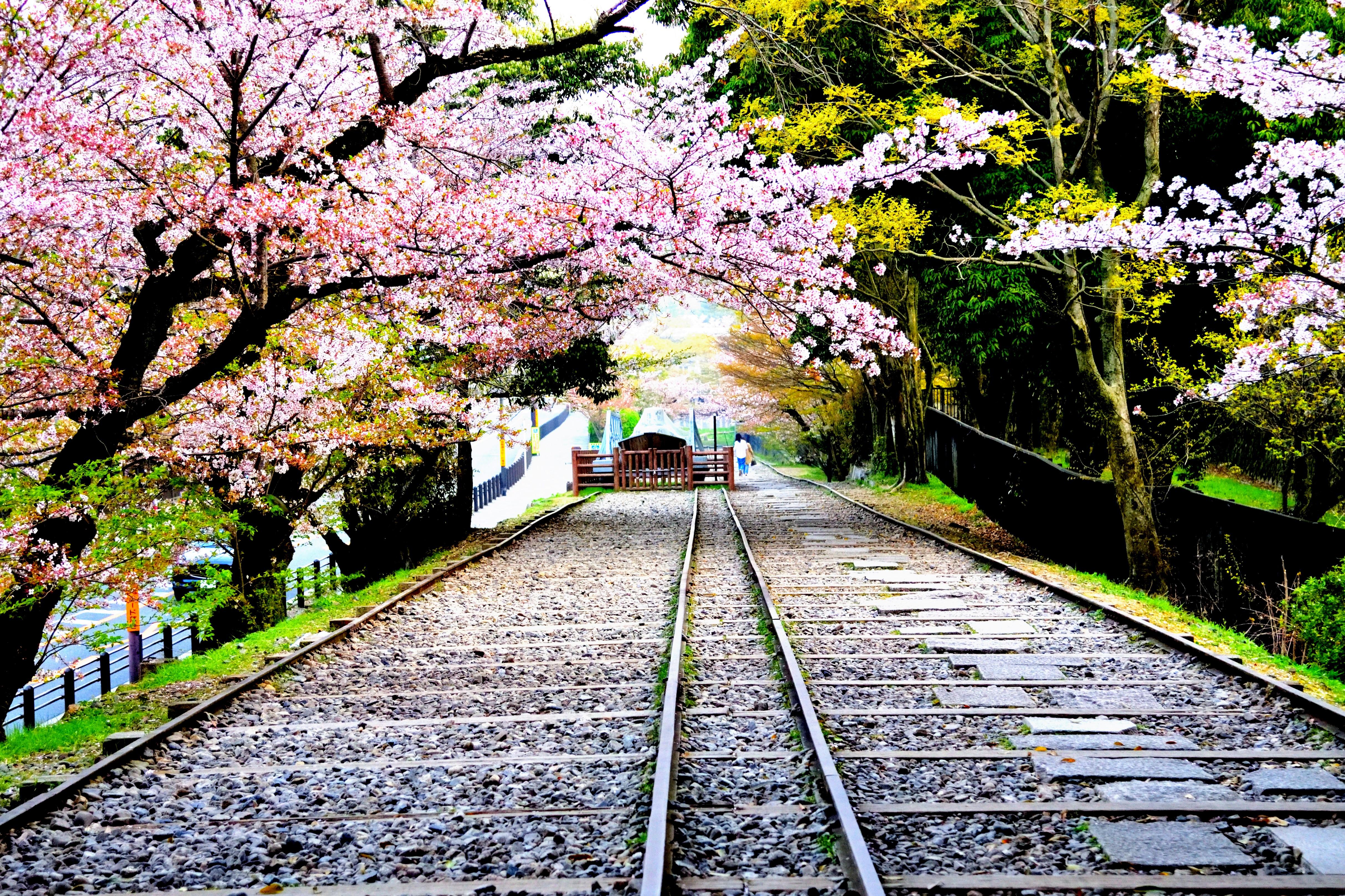 Railway and cherry trees