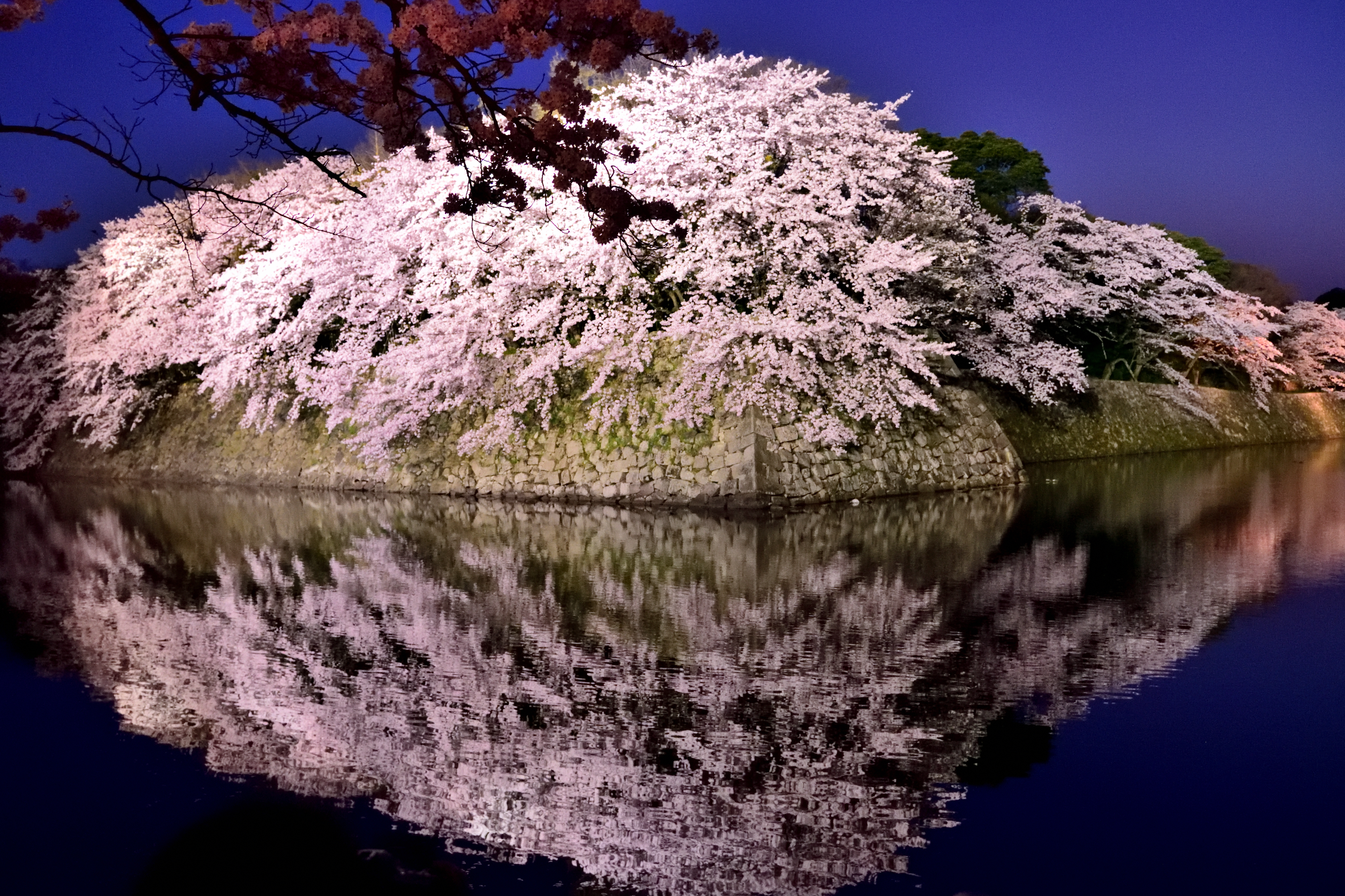 Night cherry blossoms in Hikone castle