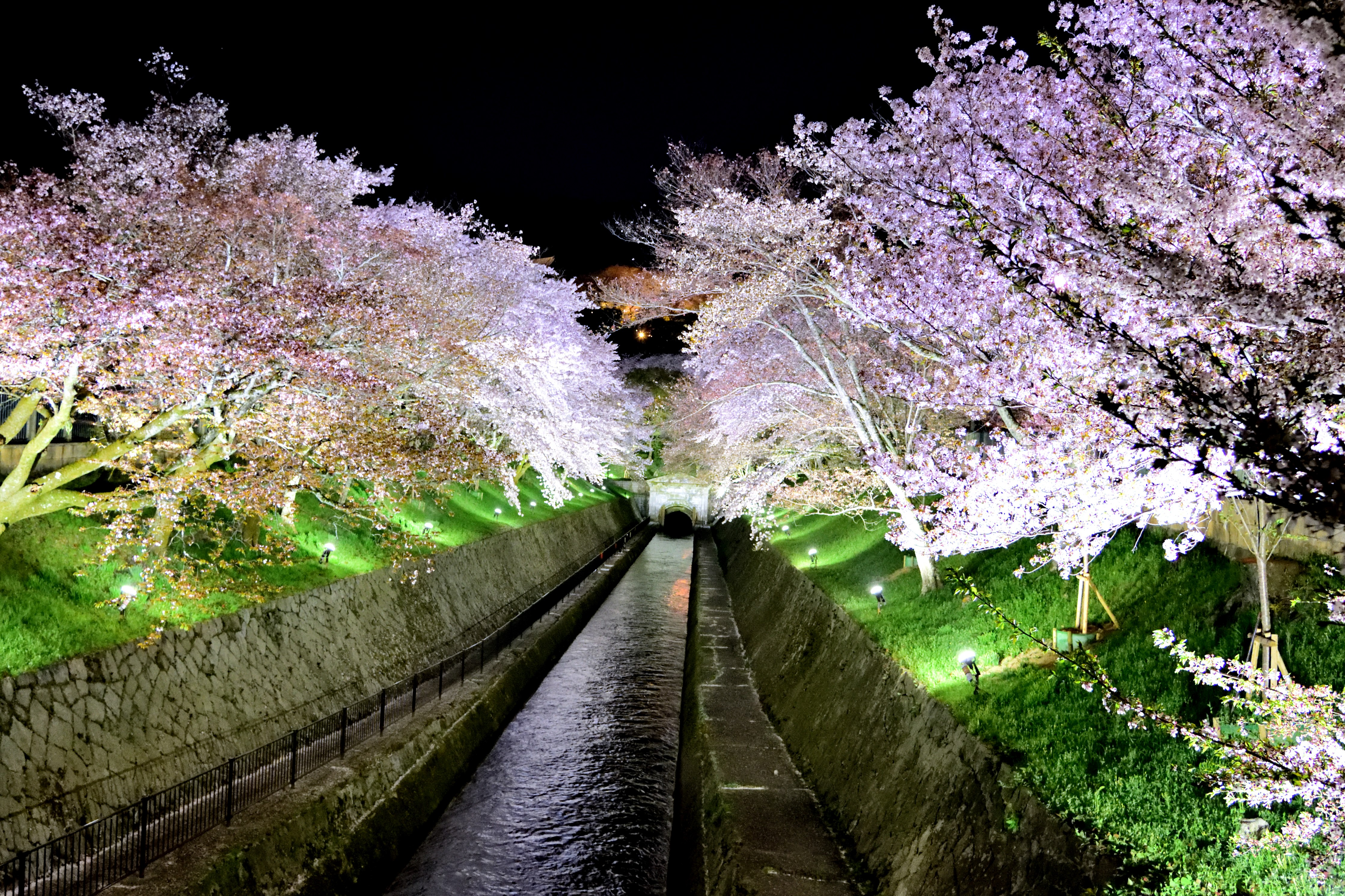 Biwa lake water channel and cherry trees