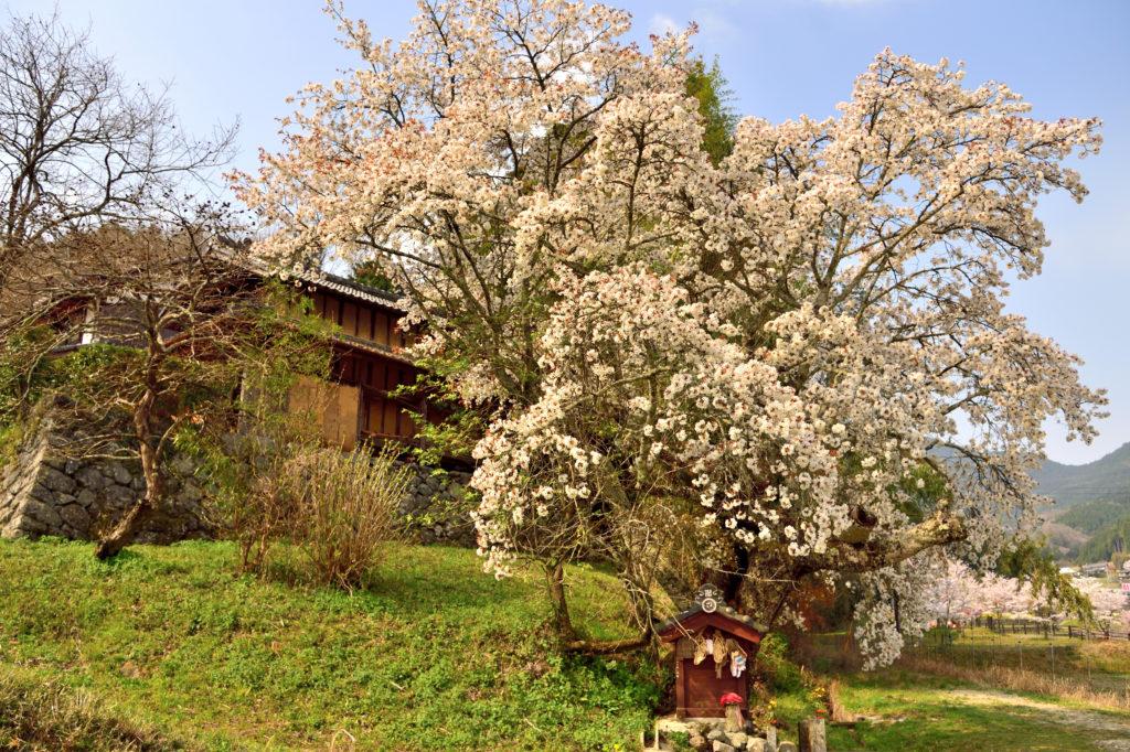 JIzosakura and old wooden house