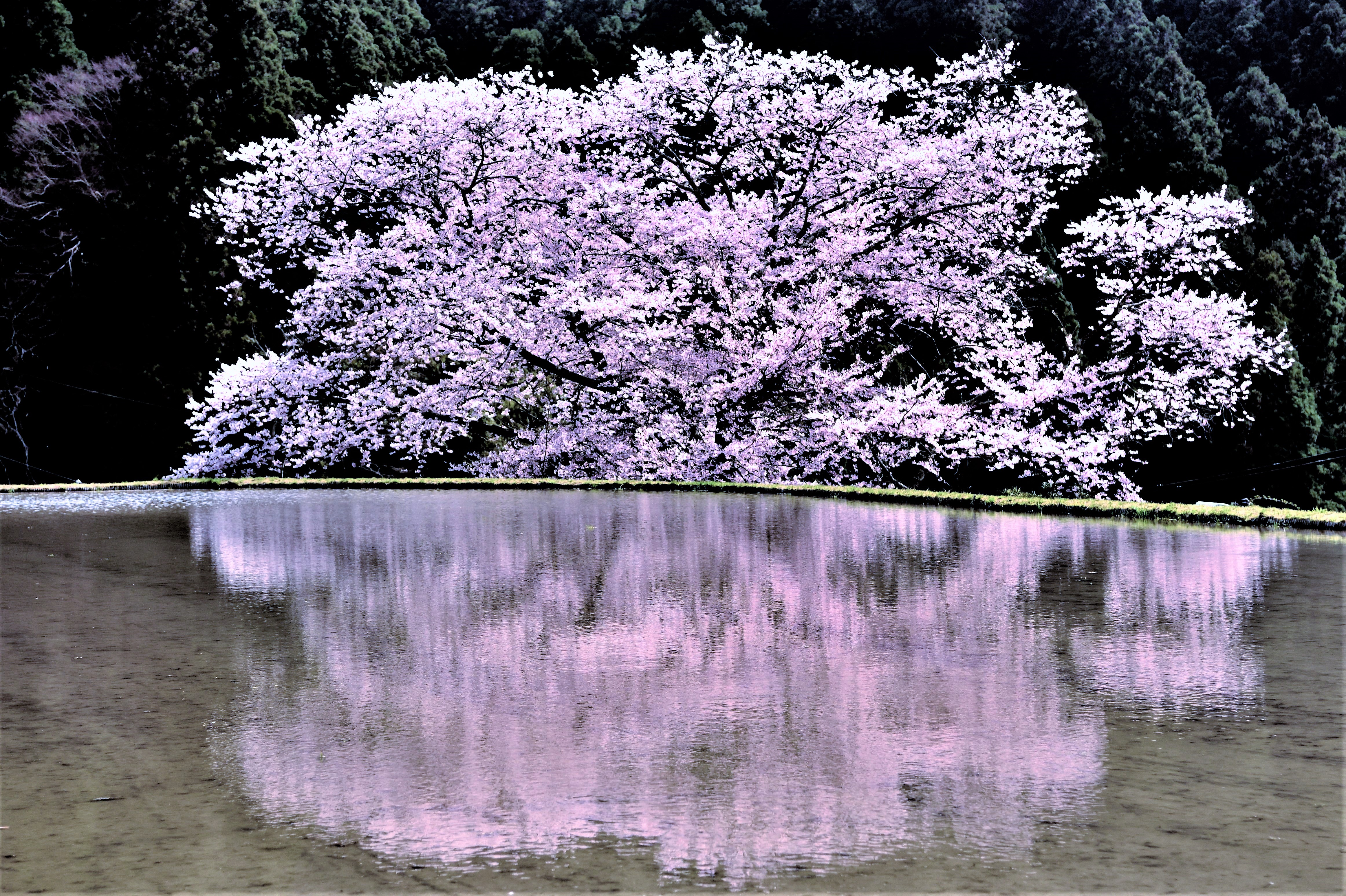 Cherry blossoms reflected in the paddy field