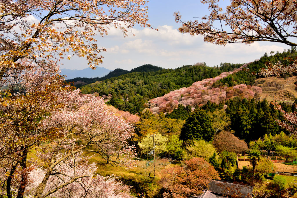 Cherry trees in Yoshimo mountaion