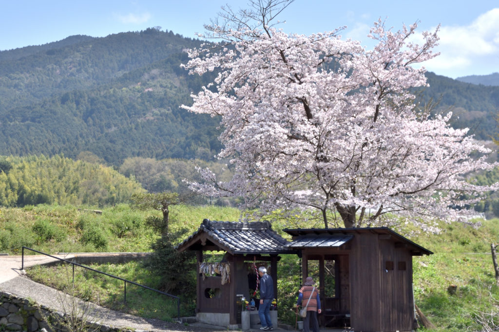 Cherry tree and shrine in Asuka village