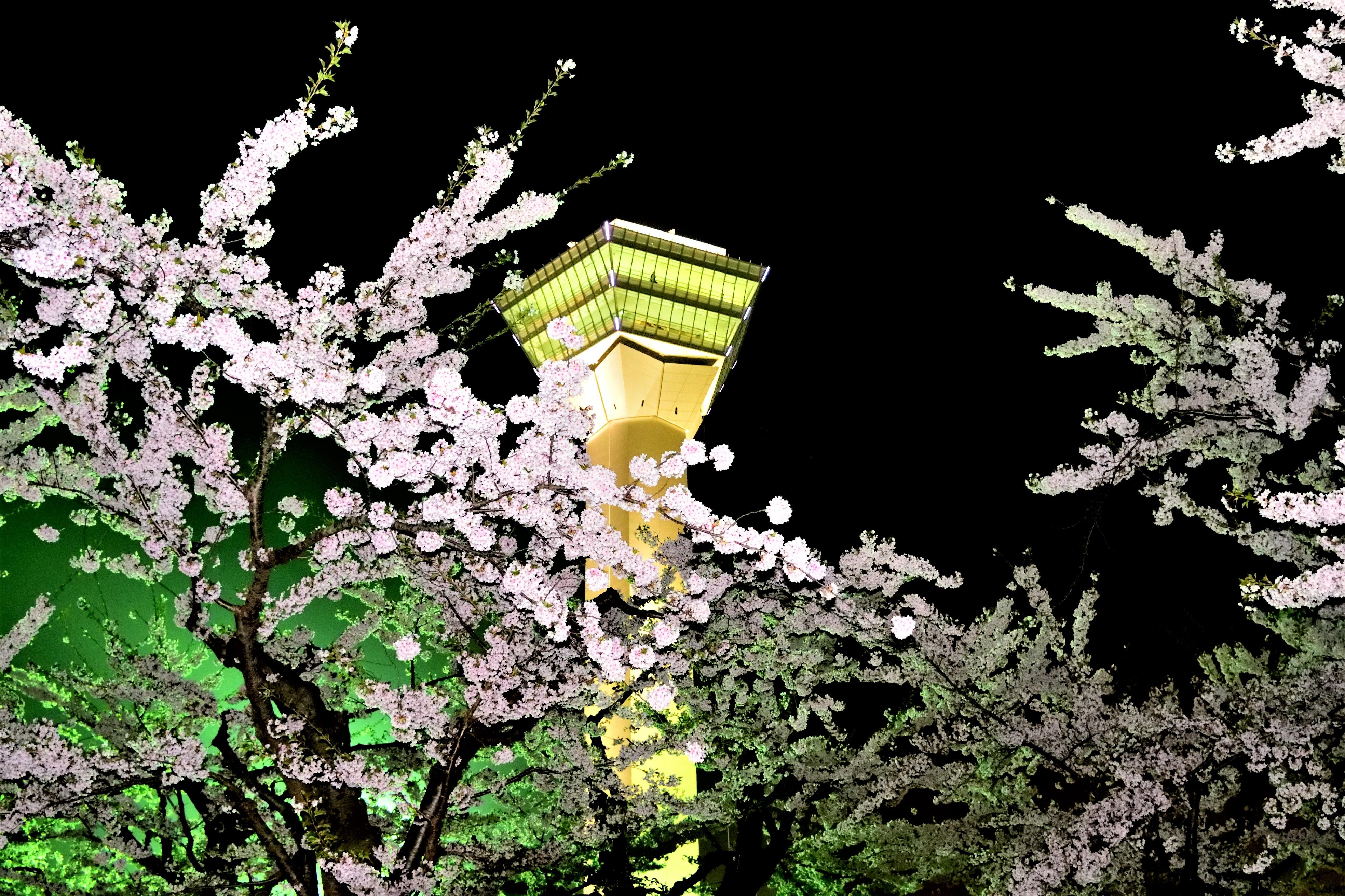Goryokaku tower and cherry trees lighted up
