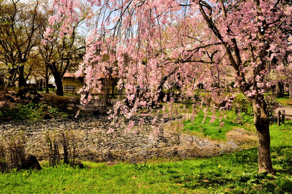 Cherry trees and pond in Ashino park