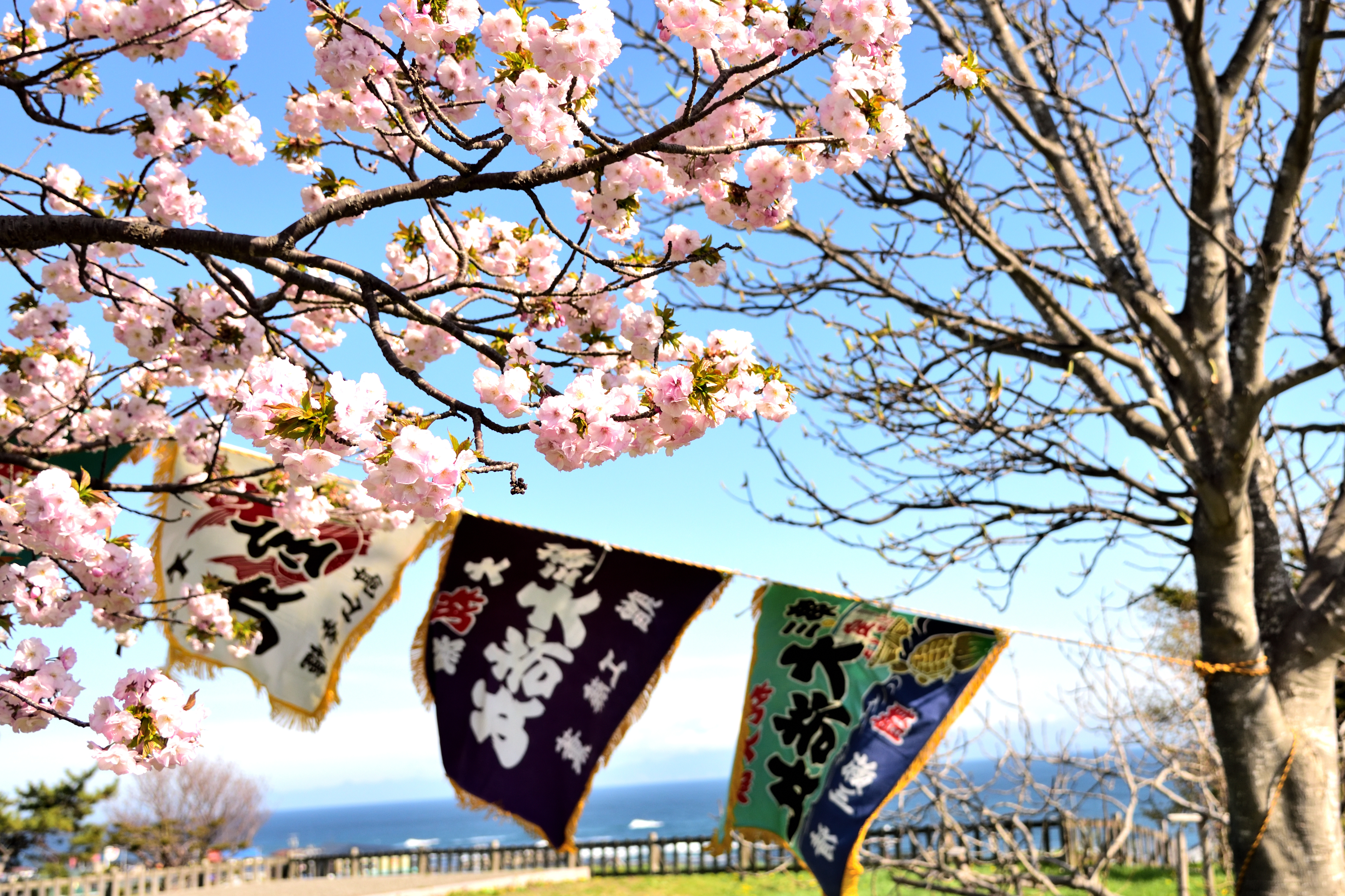 Fishing flag and cherry blossoms in Matsumae park