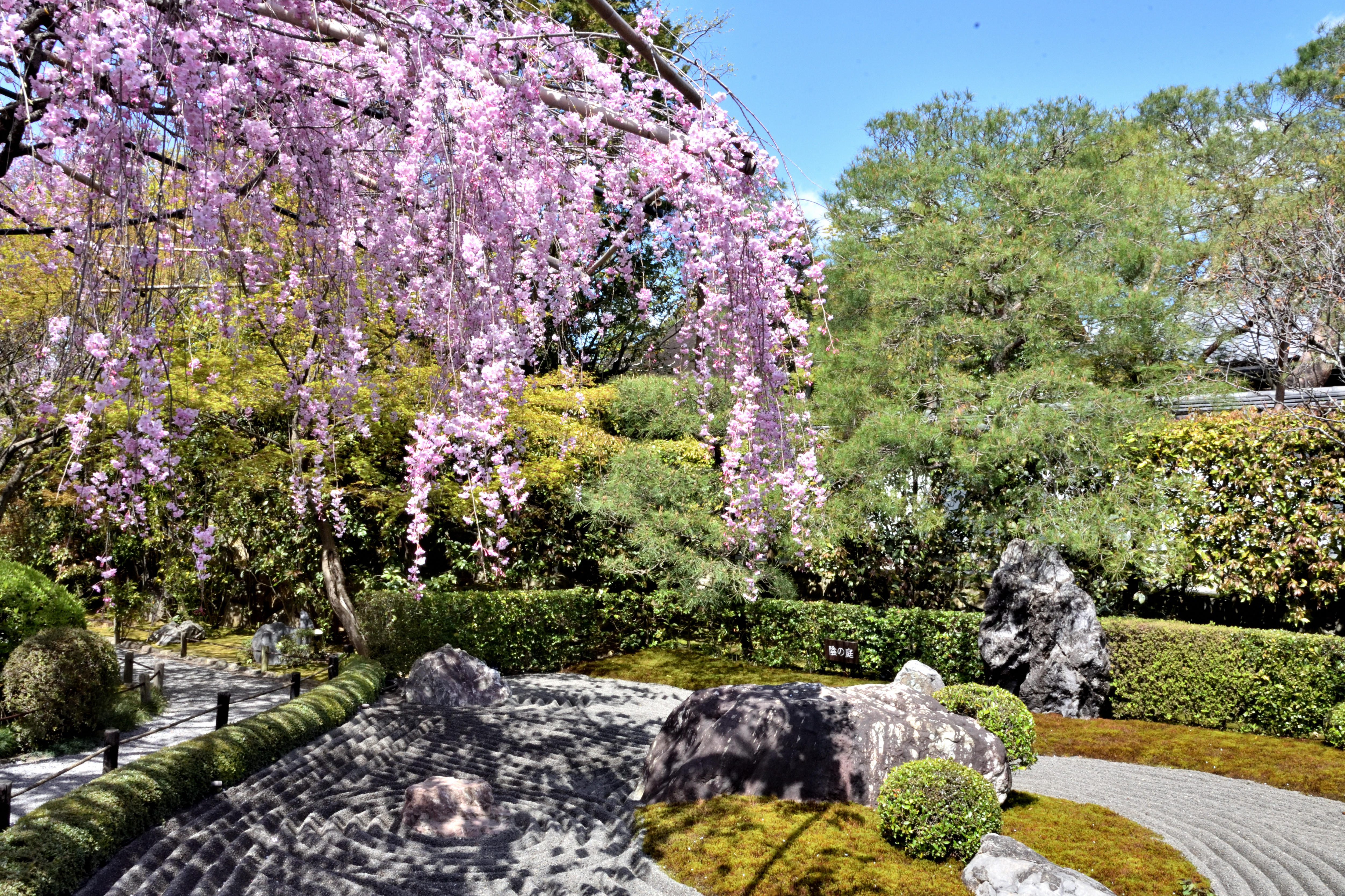 Weeping cherry blossoms and stone garden in Myoshinji temple