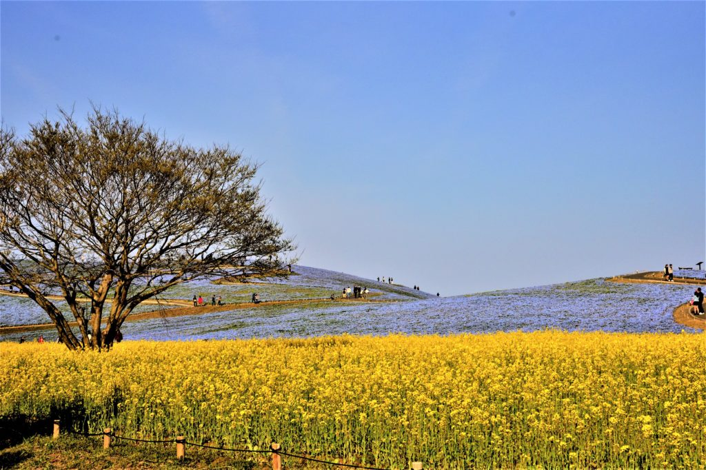 Rape flower and Nemophila in Hitachi Seaside Park