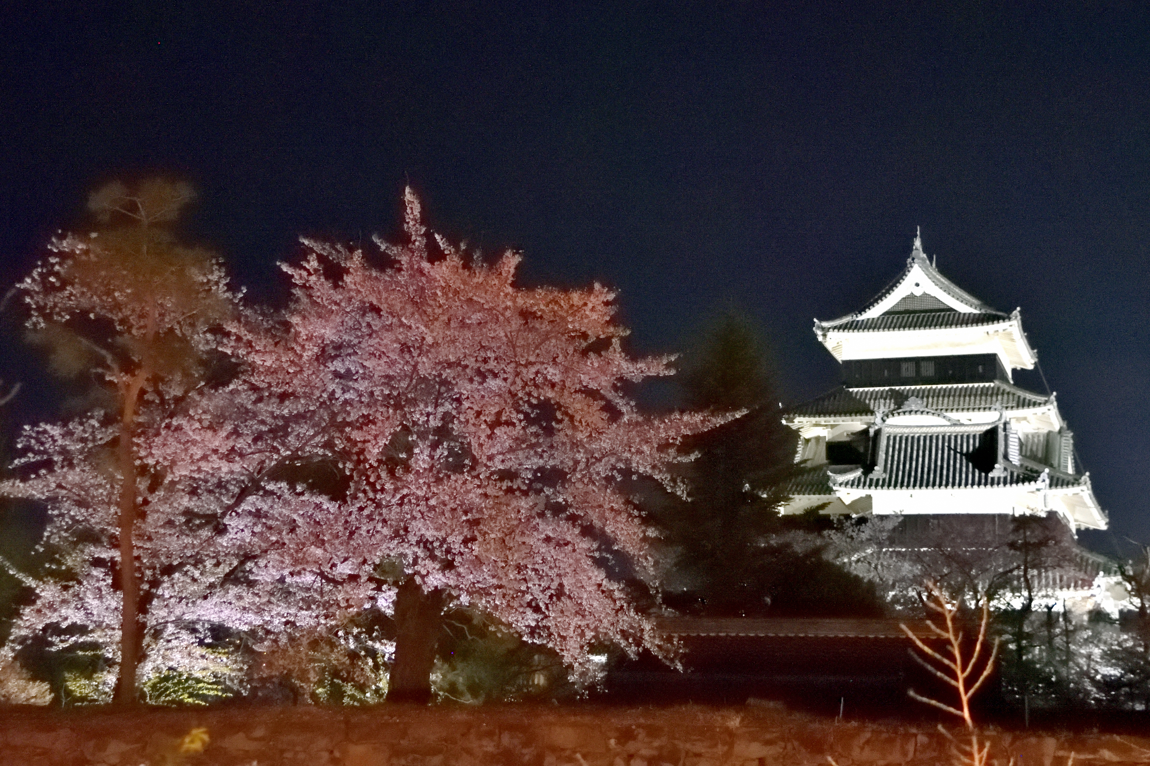 Cherry tree and Matsumoto castle lighted up