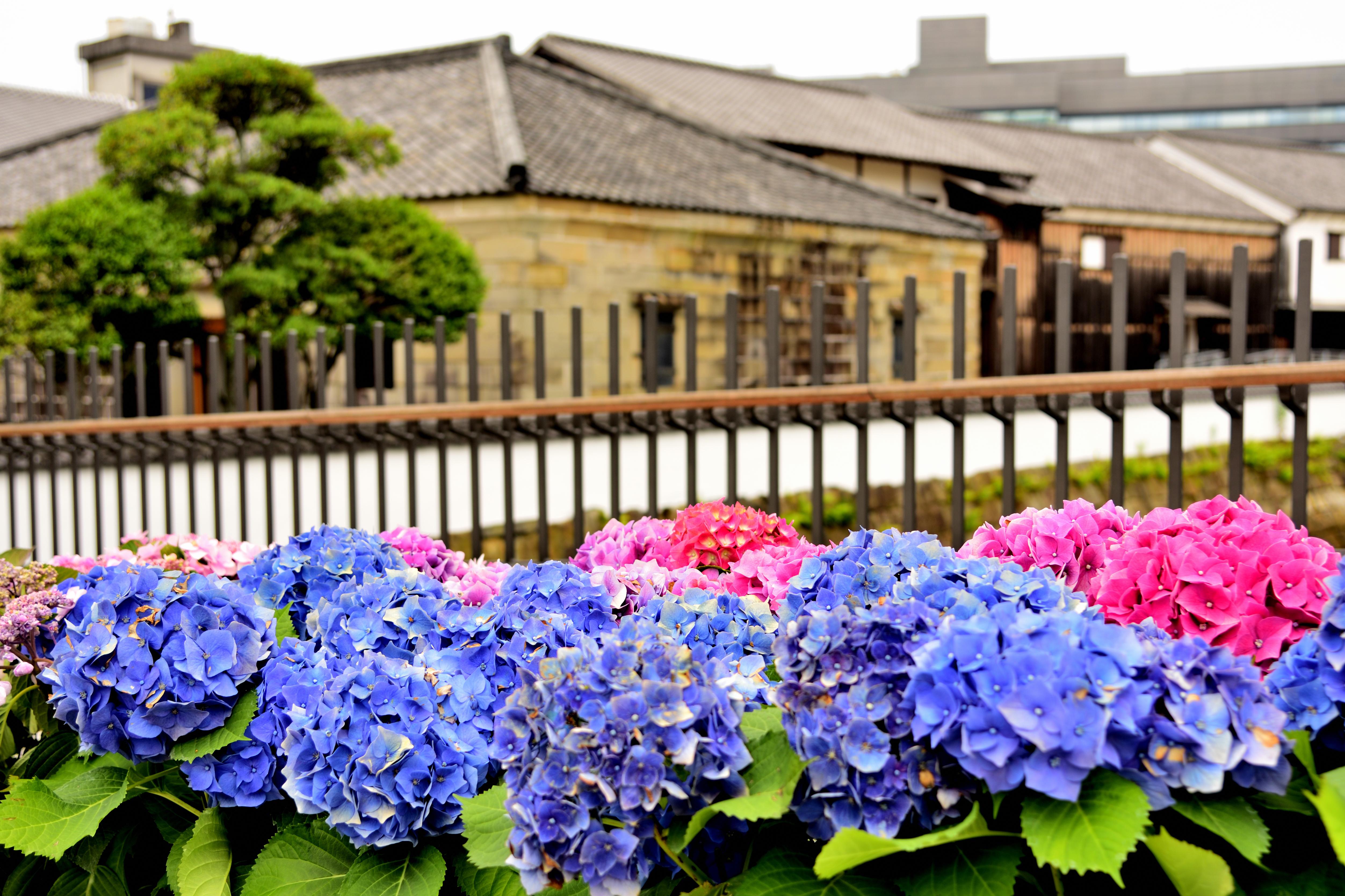 Dejima town with Hydrangea