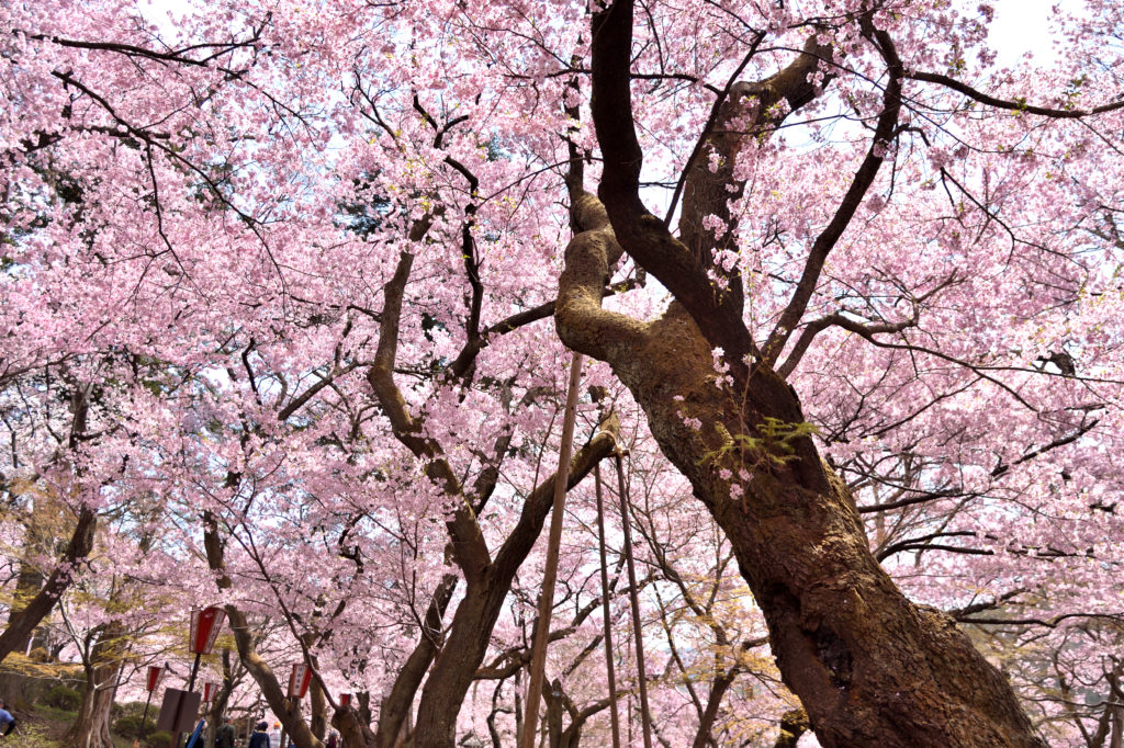 Cherry blossoms in Takato joshi Park.