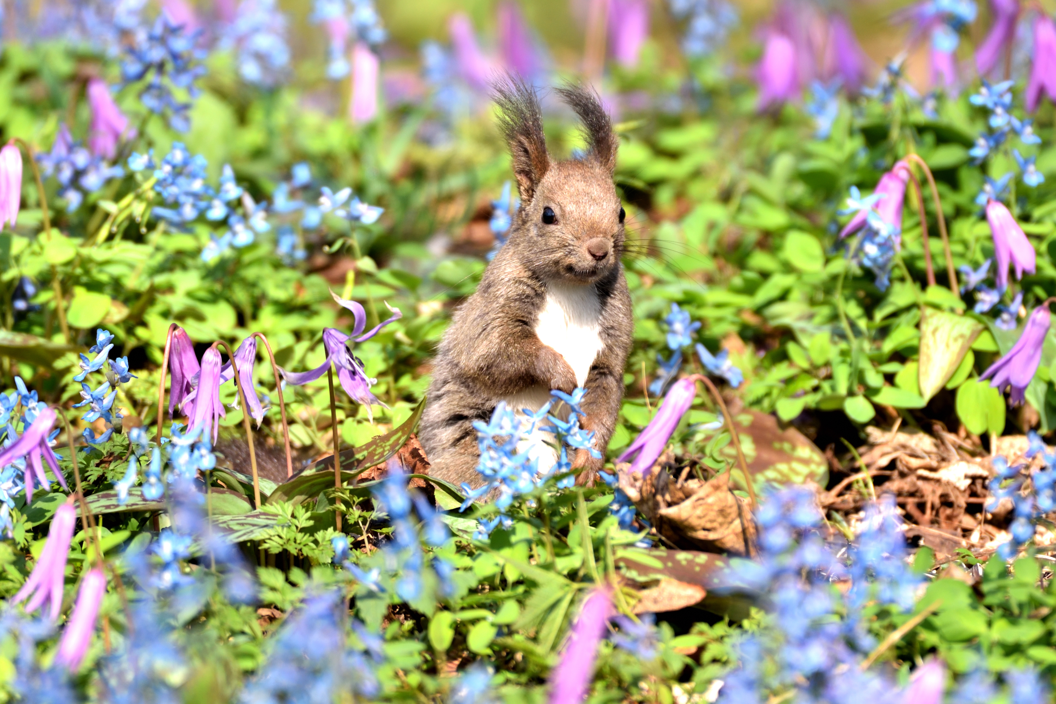 Hokkaido squirrel with Corydalis ambigua and Dogtooth violet in Urausu schrine